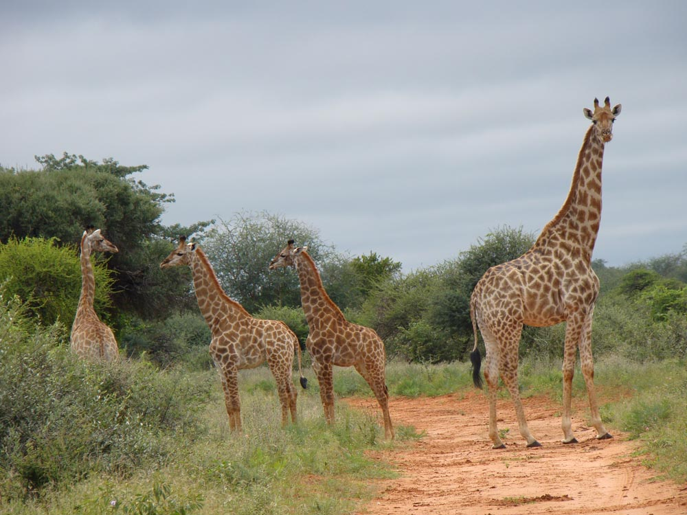 Bow hunting Giraffe in South Africa at Bushmen Safaris